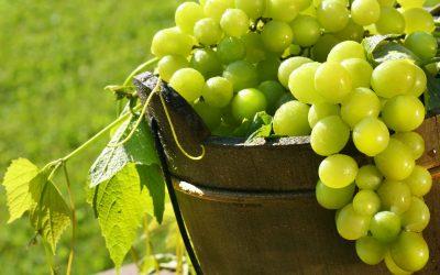 Los beneficios de la uva verde en seres humanos